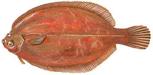 rødtunge